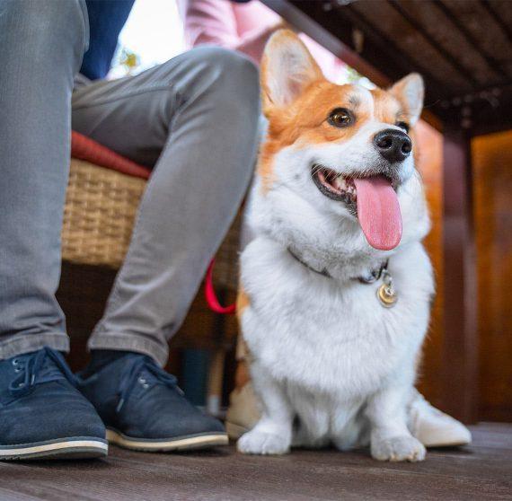 Corgi under table at dog friendly restaurant in Berlin, OH